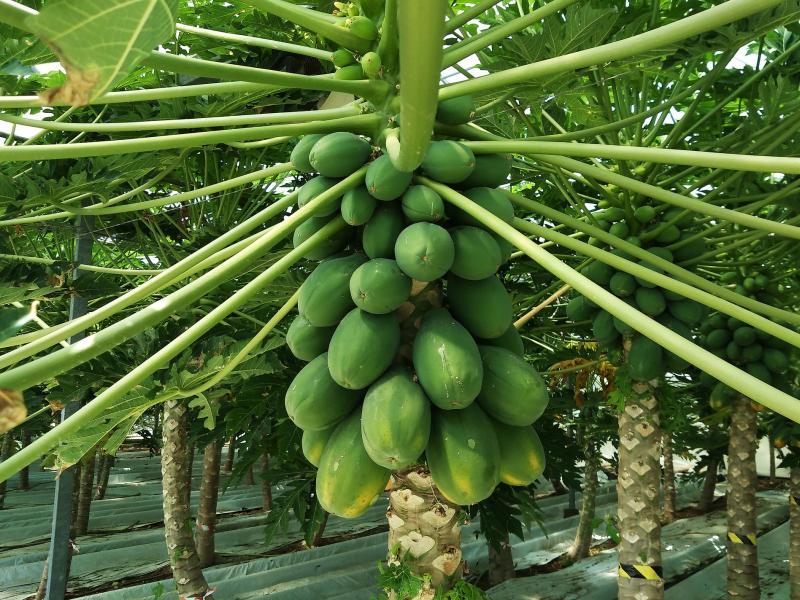 papaja biljka