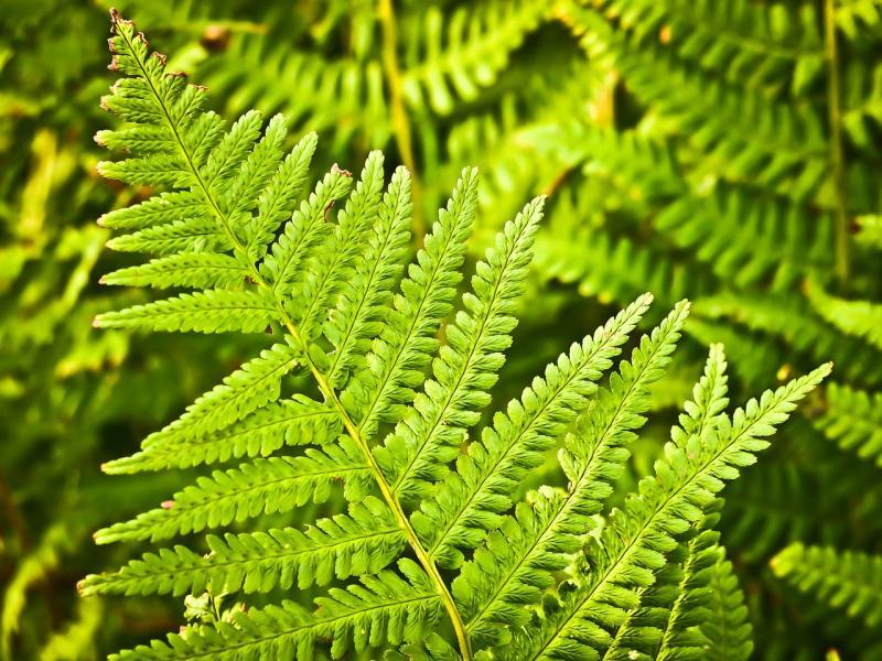 paprat biljka