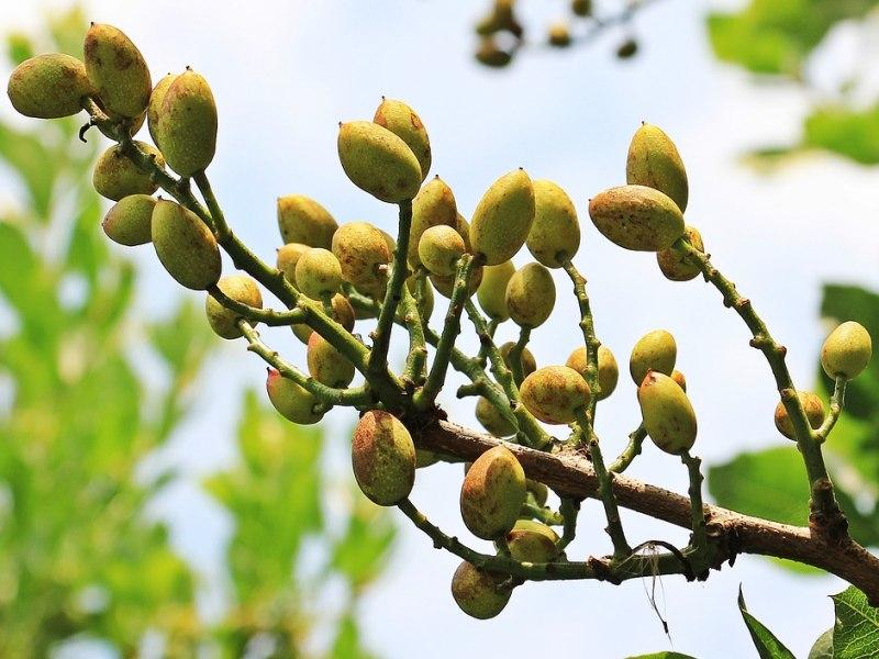 pistacija biljka
