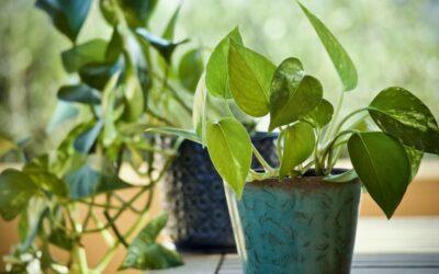 puzavac biljka