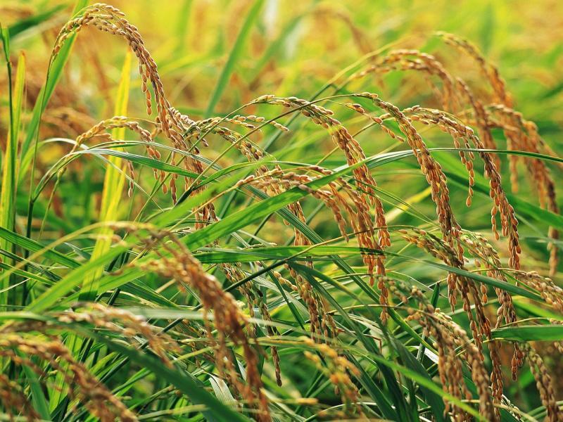 riža biljka