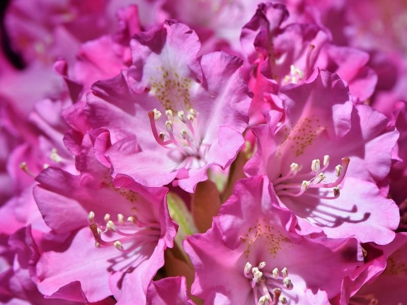 rododendron biljka