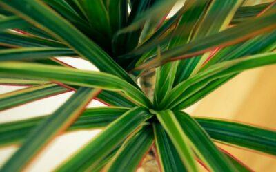 zmajevac biljka